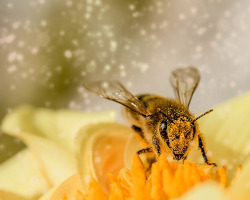 Close up of a bee on a flower surrounded by a cloud of pollen